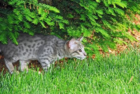 F4 Gray or also known as a blue, black spotted Savannah kitten with orange eyes, bred from a wild African serval stalking outside.