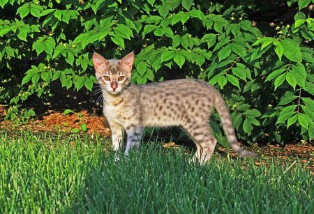 F4 Gray or also known as a blue, black spotted Savannah kitten with orange eyes, bred from a wild African serval standing looking forward outside with green foliage background.