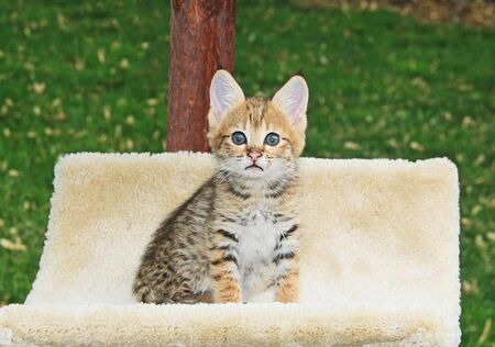 Cute F2 spotted and striped golden domestic young Serval Savannah kitten. 版權商用圖片