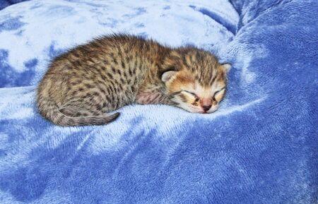 F4 Cute two day old spotted and striped sleeping newborn domestic Serval Savannah kitten. 版權商用圖片
