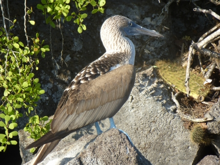 booby: Galapagos Blue-footed Booby on Rock
