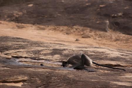 waterhole: Single monkey drinks at a shaded waterhole