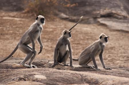 Gray Langur Monkeys of Sri Lanka photo