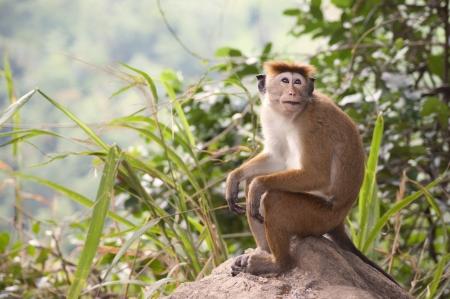 macaque: Un macaque toque assis sur un rocher au Sri Lanka Banque d'images