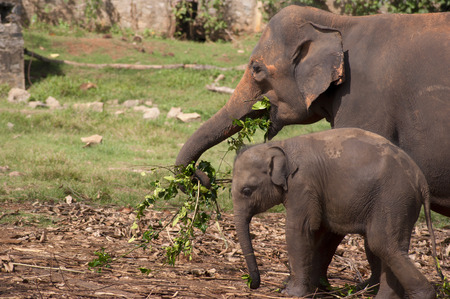orphanage: An adult elephant with her baby eating in an elephant orphanage in Sri Lanka