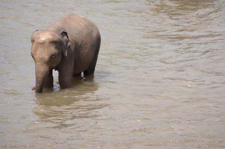wading: Small, baby elephant wading in shallow water Stock Photo