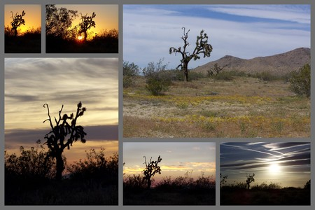 joshua: Joshua Trees in the Mojave