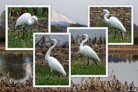 egrets: Egrets go for a stroll Stock Photo