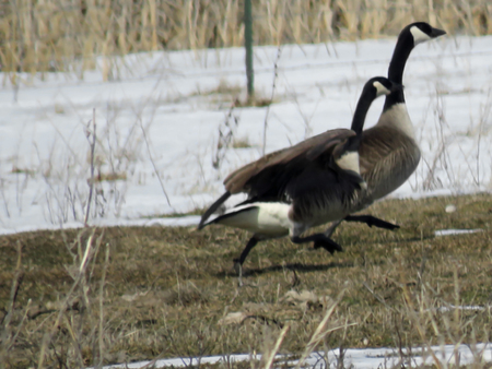 Canadian geese ready for take off Stock fotó