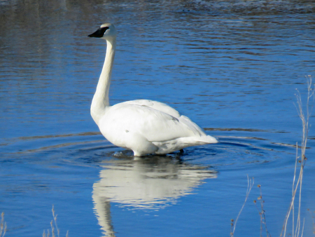 Swan reflection Stock Photo