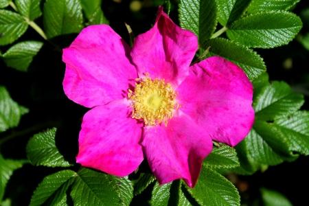 wild  rose: rosa rosa selvatica Archivio Fotografico