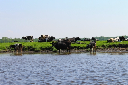 river and cows photo
