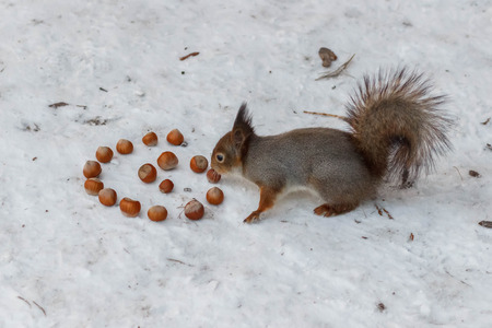 Squirrel with a picture next to a spiral of hazelnut in snow Stock Photo