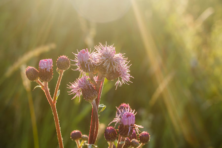 flowers thistles illuminated by the sun at dawn. Soft light