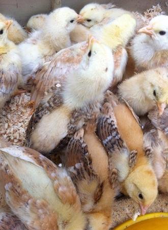 pollitos: pequeños polluelos Foto de archivo