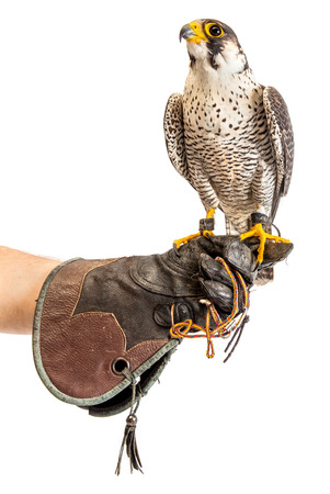 Wild young falcon on trainer glove isolated