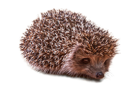 animal species: Cute young hedgehog - porcupine on white Stock Photo