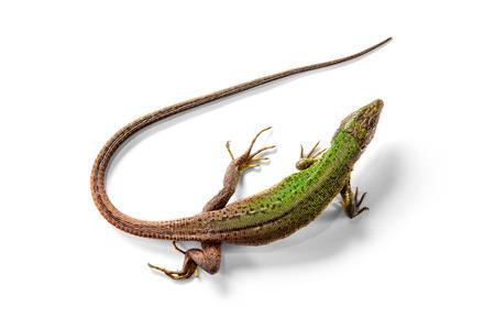 jaszczurka: Zielona jaszczurka powyżej widoku samodzielnie na białym tle
