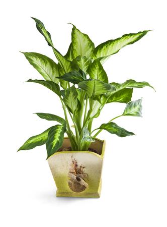 ホーム クリッピング パスと白で隔離の鍋レオン植物