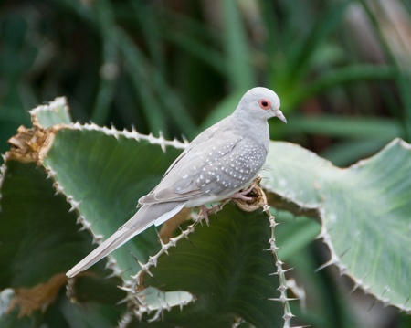 nbrunn: Desert doves in Vienna Zoo Stock Photo