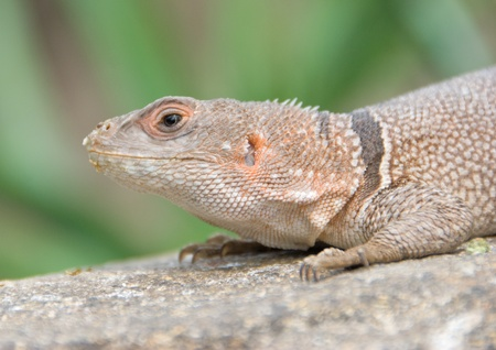 nbrunn: Little desert lizard in Vienna Zoo - resting