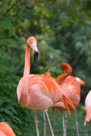 nbrunn: Pink flamingo - Vienna zoo