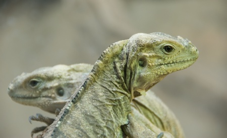 nbrunn: Two young iguanas - Vienna zoo