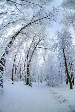 snow covered trees stand in a field and the path photo