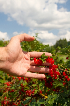 hand plucks red currants growing on a tree photo