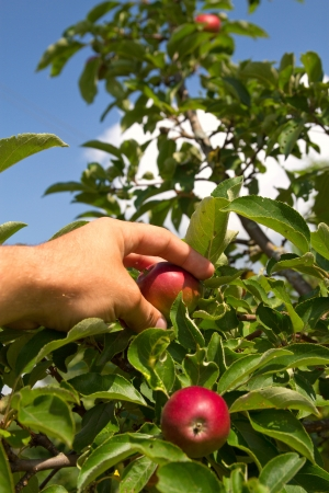 hand plucks the apple growing on a tree