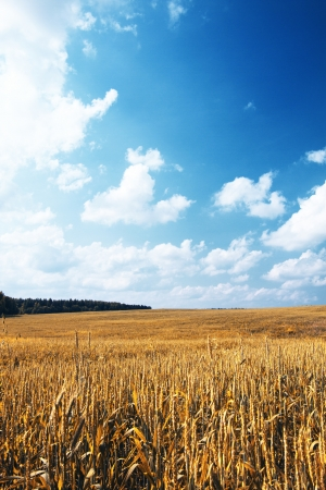 field of rye blue sky Stock Photo - 21667779