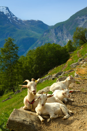 fjords: goats in the mountains. in the picturesque fjords of Norway