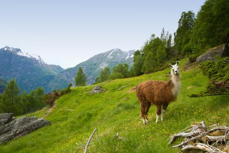 山のラマ。自然の景勝地。