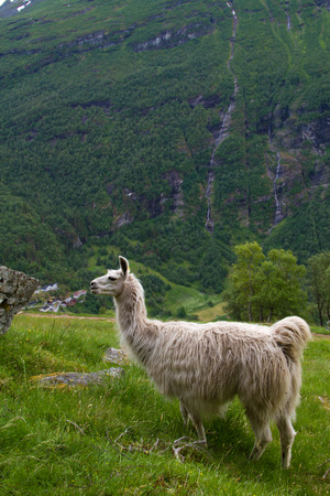llamas in the mountains. scenic spots in nature. photo
