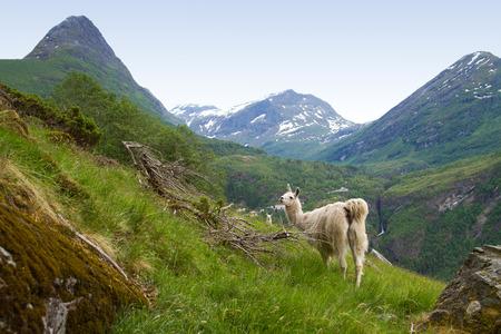 Lamas in den Bergen. Aussichtspunkte in der Natur. Lizenzfreie Bilder
