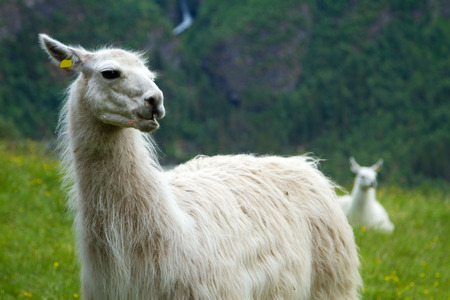 scenic spots: llamas in the mountains. scenic spots in nature.