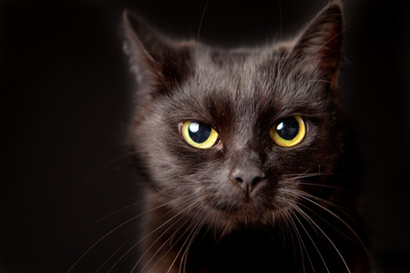 Close-up of a black cat, looking at camera, isolated on black Stockfoto