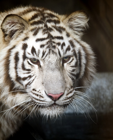ussuri: Ussuri white tiger close-up of the muzzle.