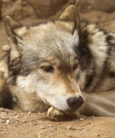 dreadful: Wolf thoughtfully lying on the ground. Stock Photo