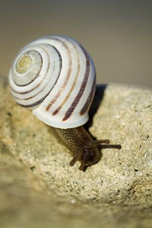 gastropoda: Small snail with dark body gliding on wood a rainy day