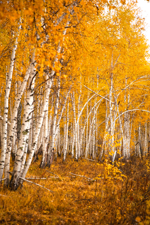 yellow trees: Autumn birch forest in the forests of Siberia.