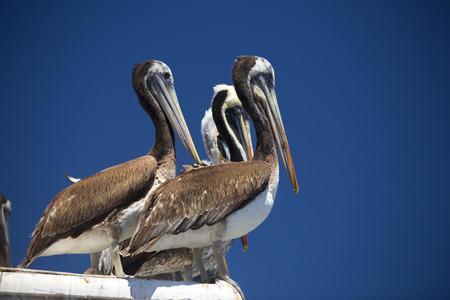 san pedro: pelican . bird living on the ocean. America