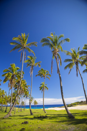 palms on the beach of Easter Island. sunny weather