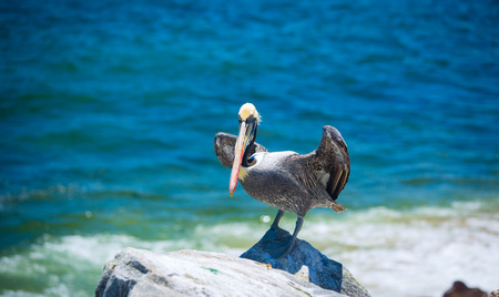 tourism in belize: pelican . bird living on the ocean. America