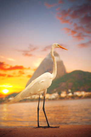 Egret  stands on a sunset background in Rio de Janeiro, Brazil Stock Photo
