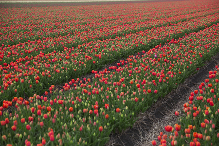 the netherlands: field with red tulips in the netherlands