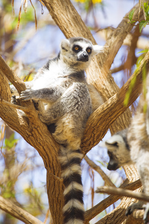 monkies: lemur resting in the shade.
