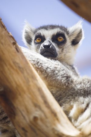 monkies: lemur resting in the shade.