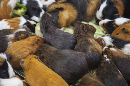 porpoise: many guinea pigs cabbage dinner outdoors Stock Photo