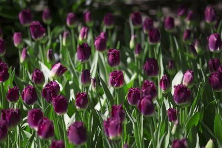 skagit: Purple tulips in Skagit Valley Stock Photo
